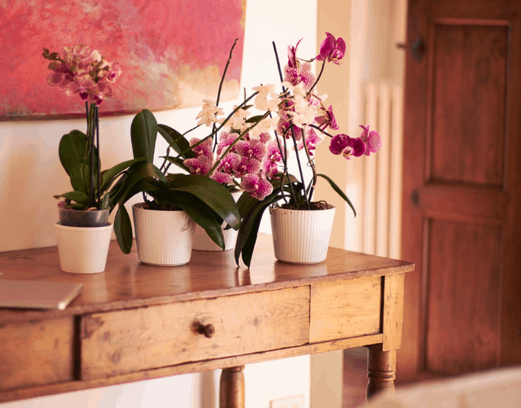 White and purple orchids in a Tuscan villa